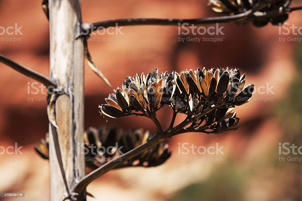 Agave americana Century Plant Seed Pods stock photo