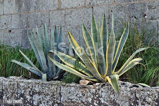 1145102719 istock photo Agave americana, common names sentry plant, century plant,maguey, variegata or American aloe 1146115683