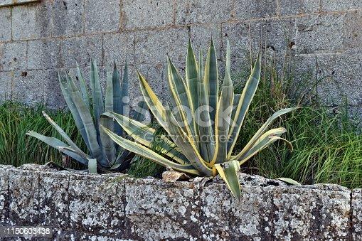 1145102719 istock photo Agave americana, common names sentry plant, century plant,maguey, variegata or American aloe 1150603438