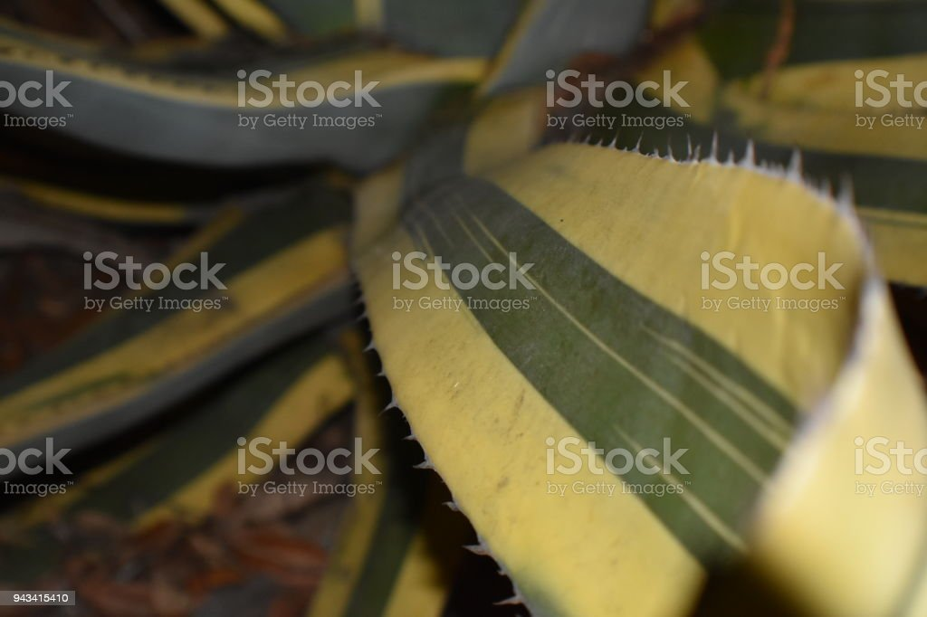 Agave Americana Leaves stock photo
