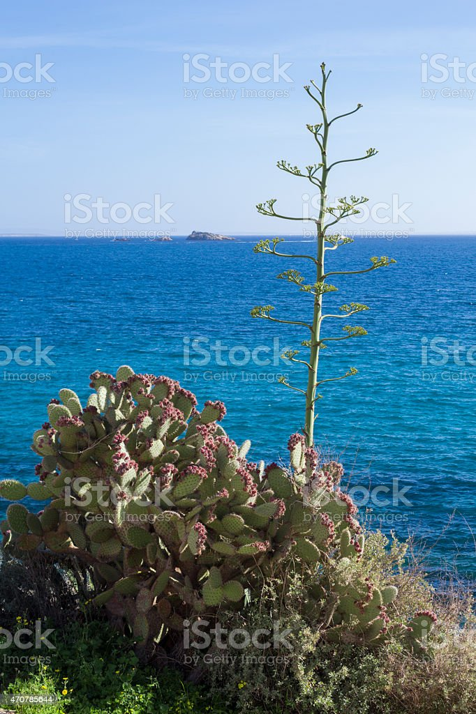 Agave and Prickly Pear Cactus stock photo