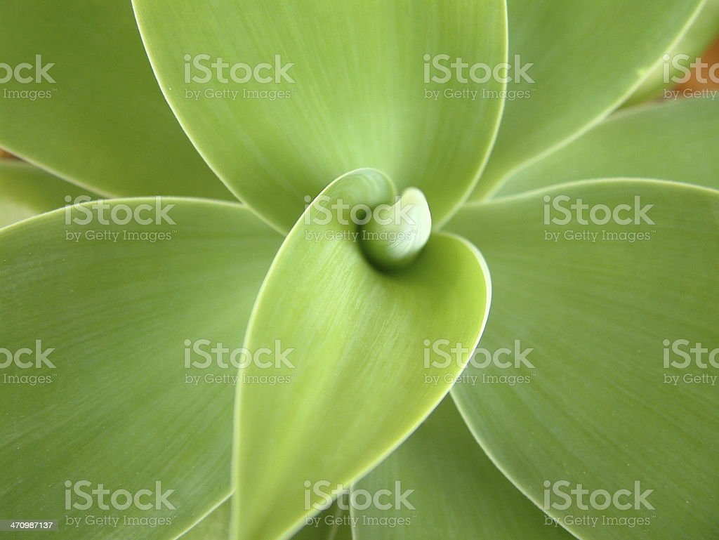 Agave Attenuata 1 royalty-free stock photo