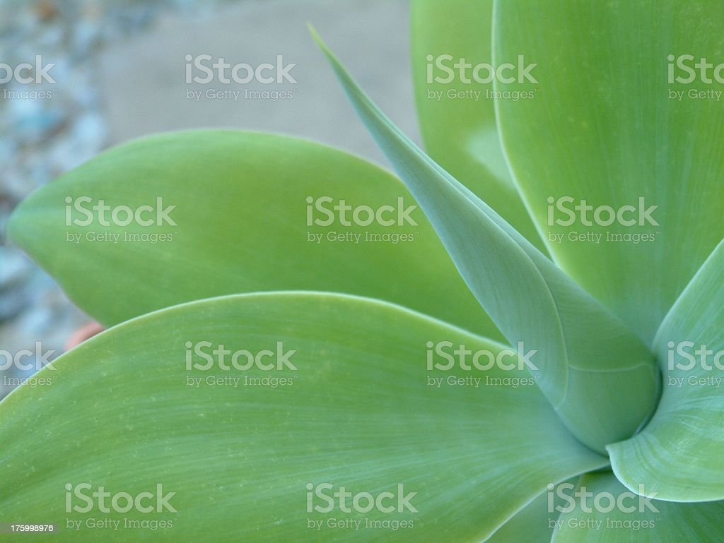 Agave Attenuata 5 royalty-free stock photo