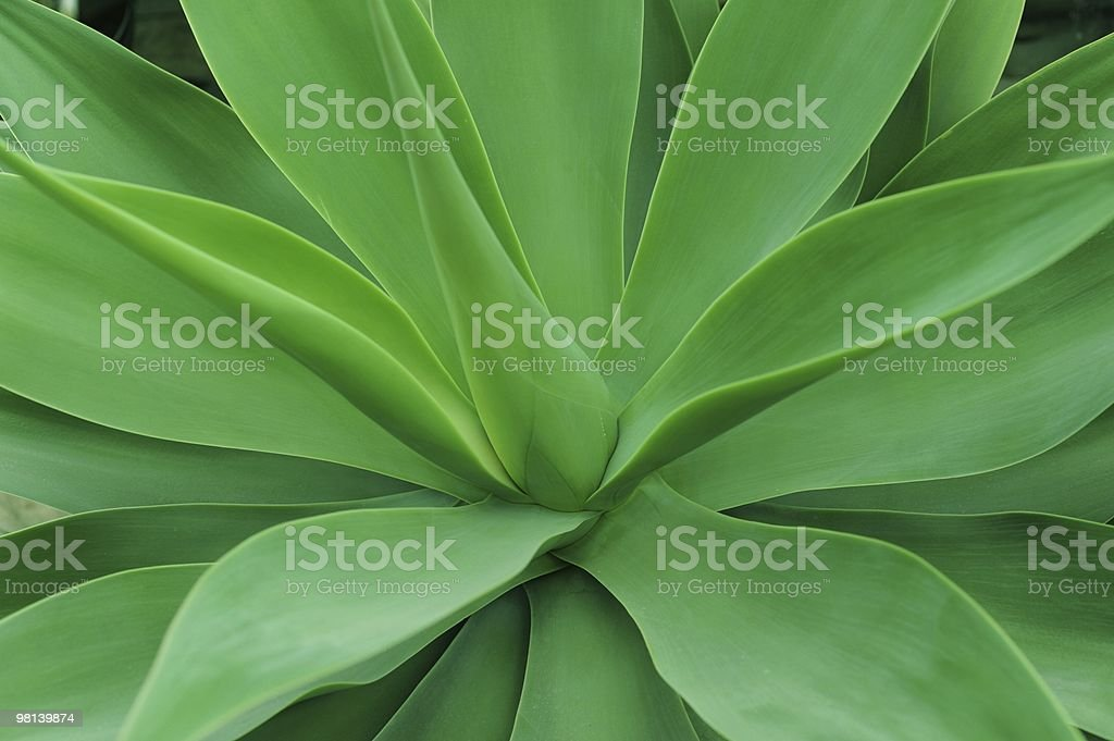 Agave Cactus Plant royalty-free stock photo