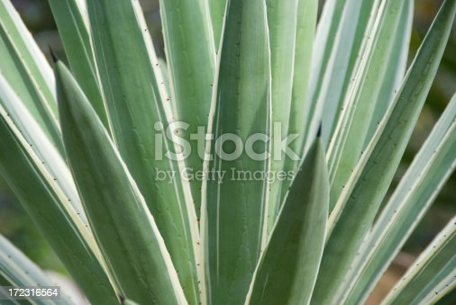 Close-up and abstract image of the green agave plant leaves.