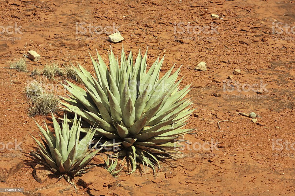 Agave deserti Succulent Plant royalty-free stock photo