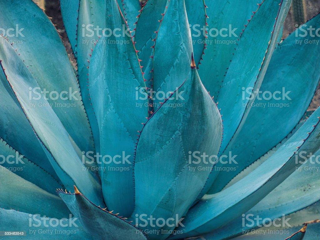 agave-Detailarbeit – Foto