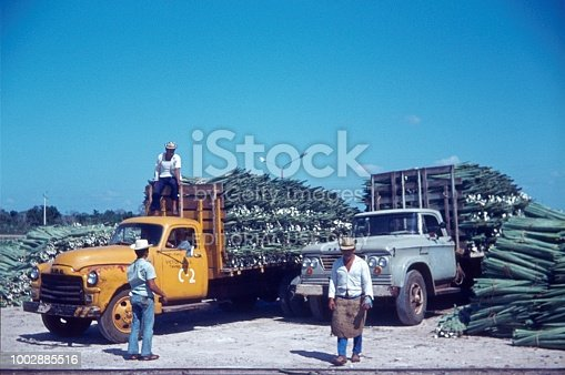 Sonora, Mexico, 1972. Removal on trucks of agave leaves (Agavoideae) for further processing.