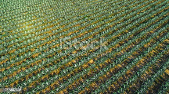 agave field aerial