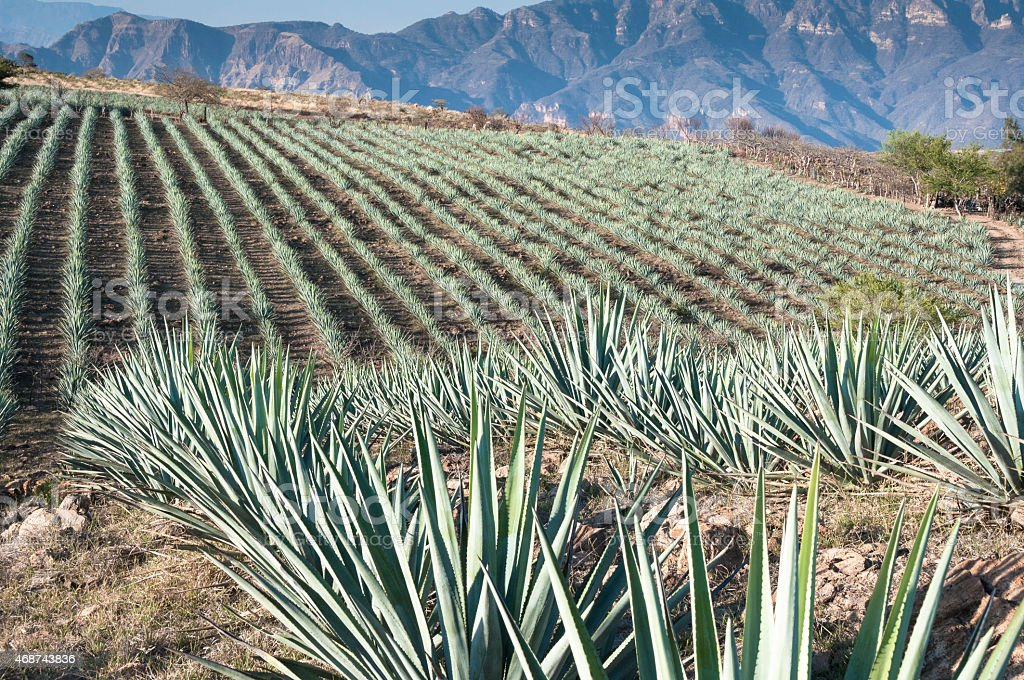 Agave field in Tequila, Jalisco (Mexico) stock photo