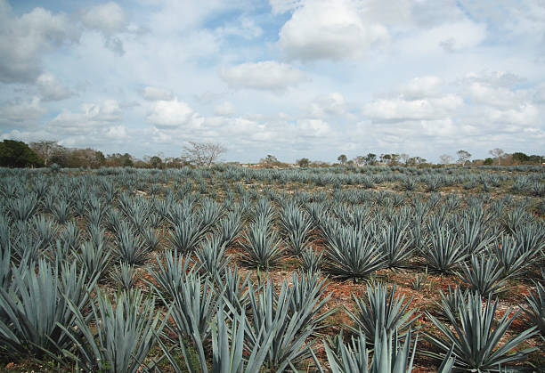 Agave field stock photo