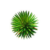 Agave filifera or thread leaf agave isolated on white background. Succulents. Natural green ball