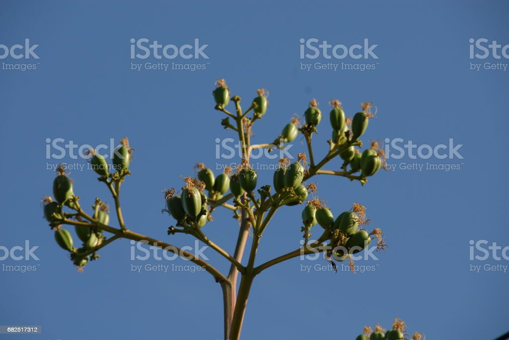 Agave in Blüte in Spanien royalty-free stock photo