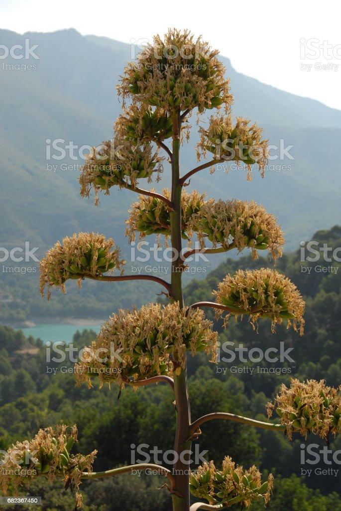 Agave in Blüte in Spanien royaltyfri bildbanksbilder