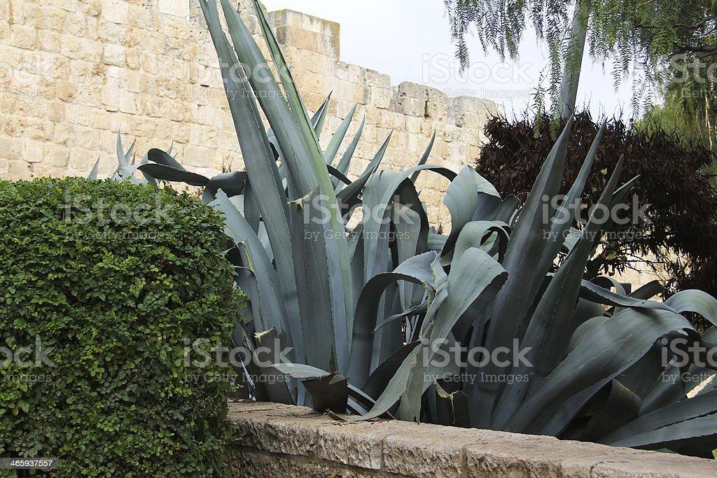 Agave in Jerusalem royalty-free stock photo