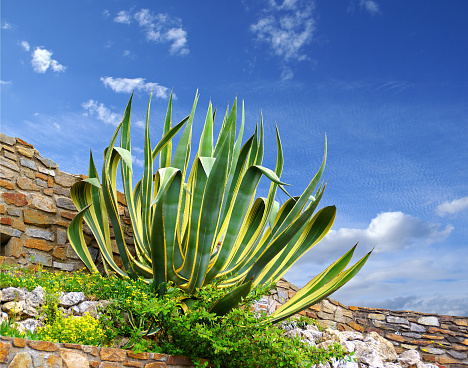 Agave in the rockery summer.