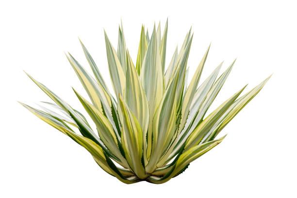 beyaz arka plan üzerinde izole agav. - agave stok fotoğraflar ve resimler