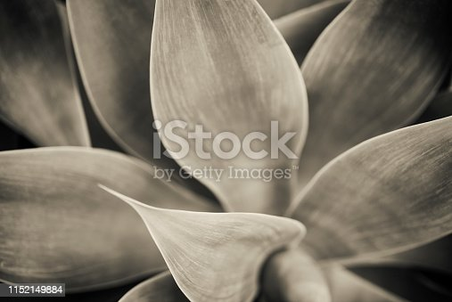 Toned black and white high resolution photograph of a beautiful agave plant.