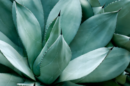 Part of an agave plant