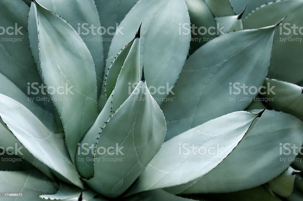 Agave leaves stock photo