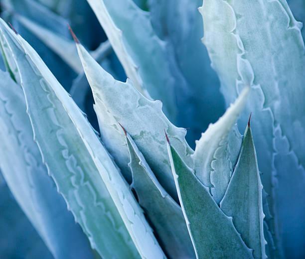 agave - agave stok fotoğraflar ve resimler