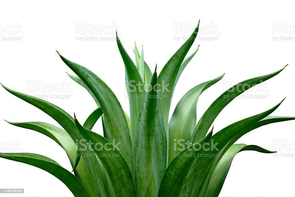 agave – zdjęcie