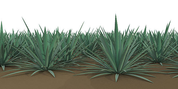 agave stock photo
