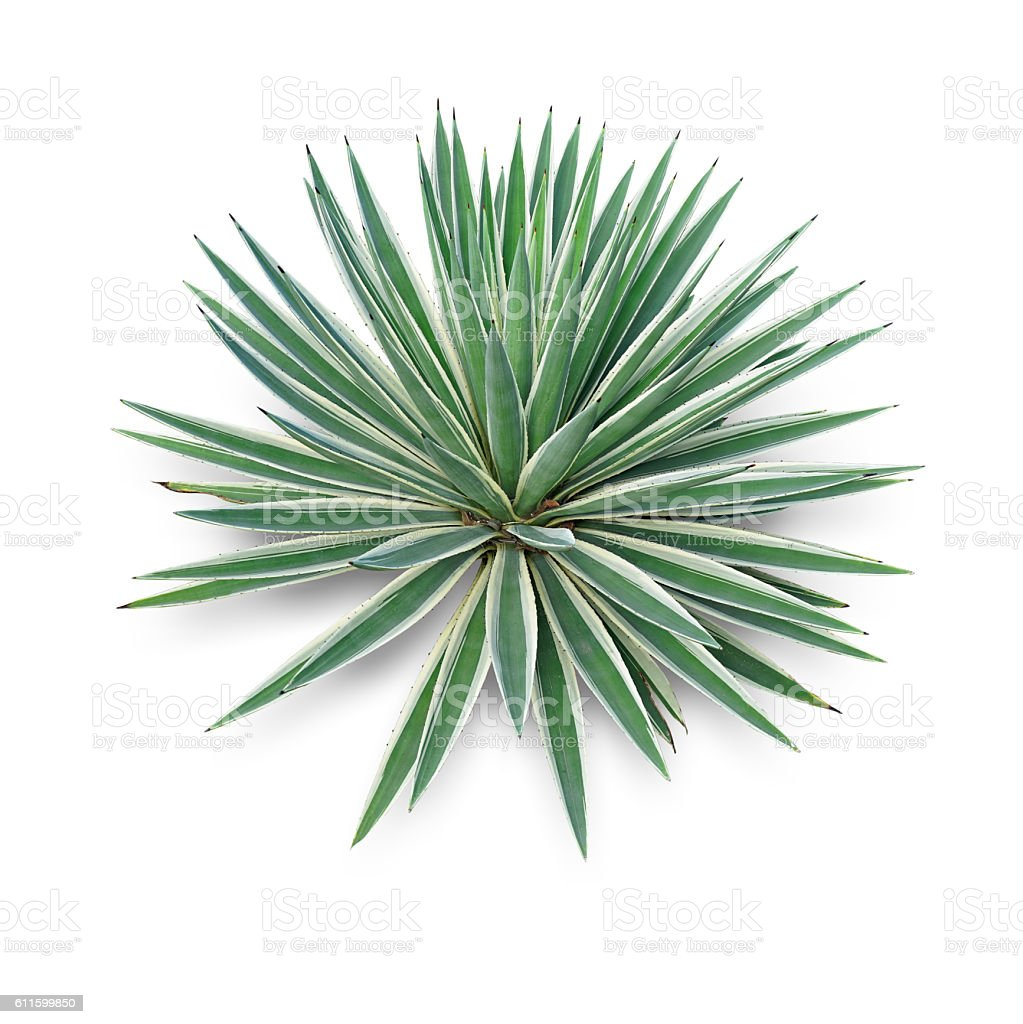 Agave plant green flower logo colorful top view stock photo