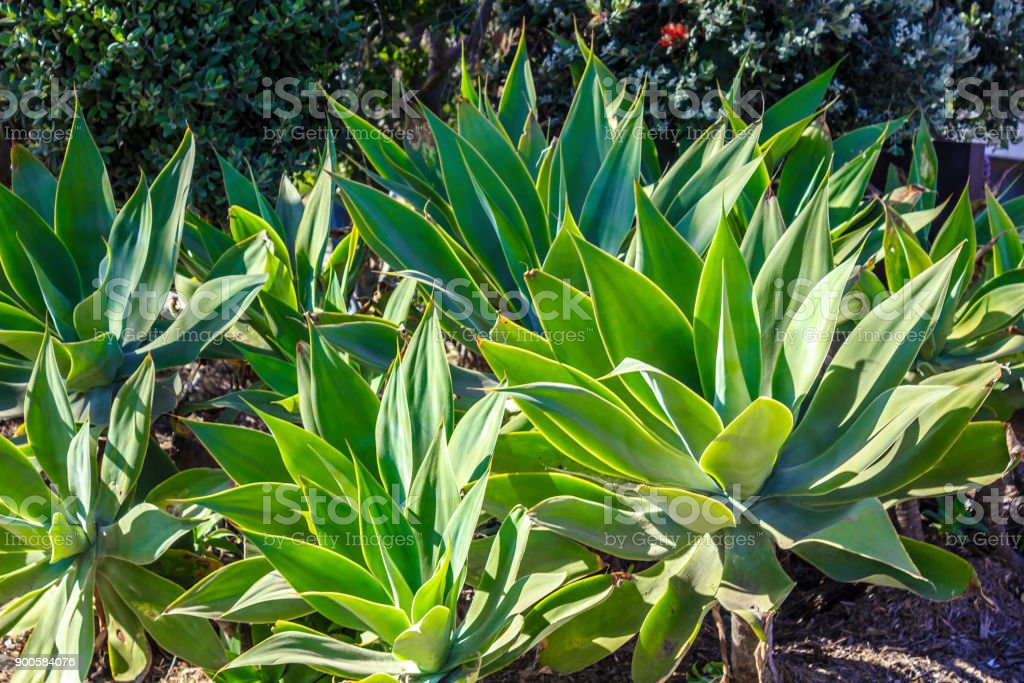 Agave Plant growing in the garden stock photo