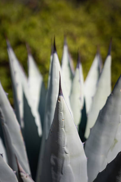 Agave Plant In Arizona stock photo