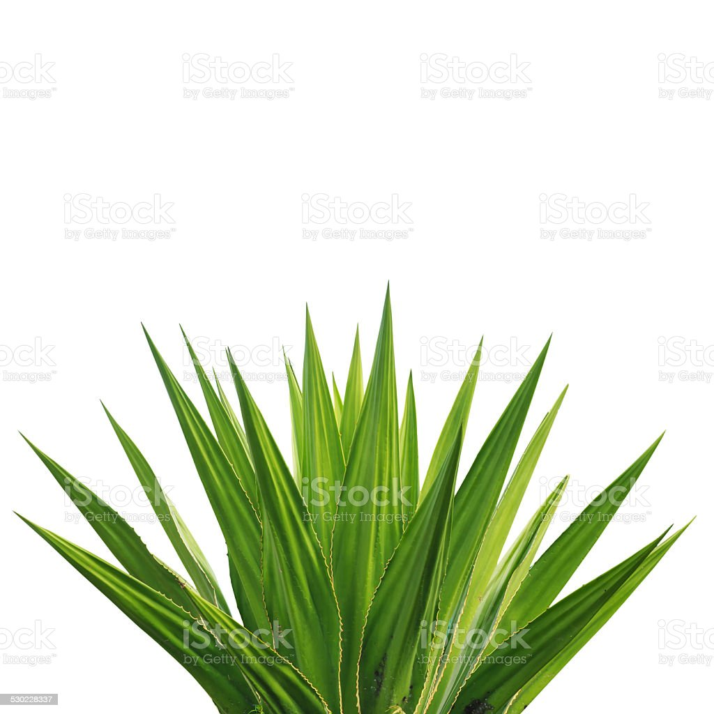 Agave plant isolated on white background stock photo