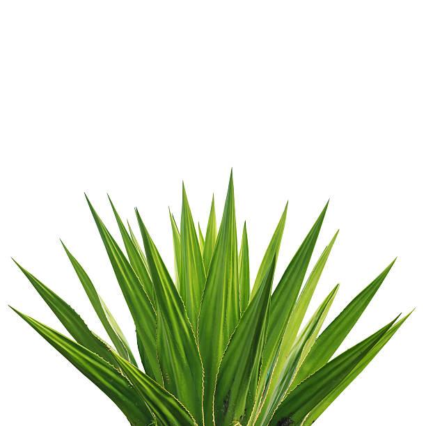 アガーベ植物の白背景 ストックフォト
