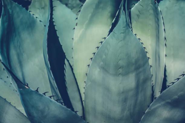 agav bitki yaprakları - agave stok fotoğraflar ve resimler