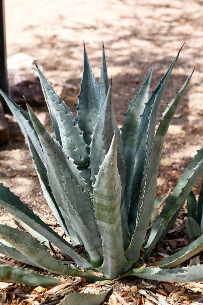 Agave plant or American Century Plant in desert in Arizona in a selective focus stock photo