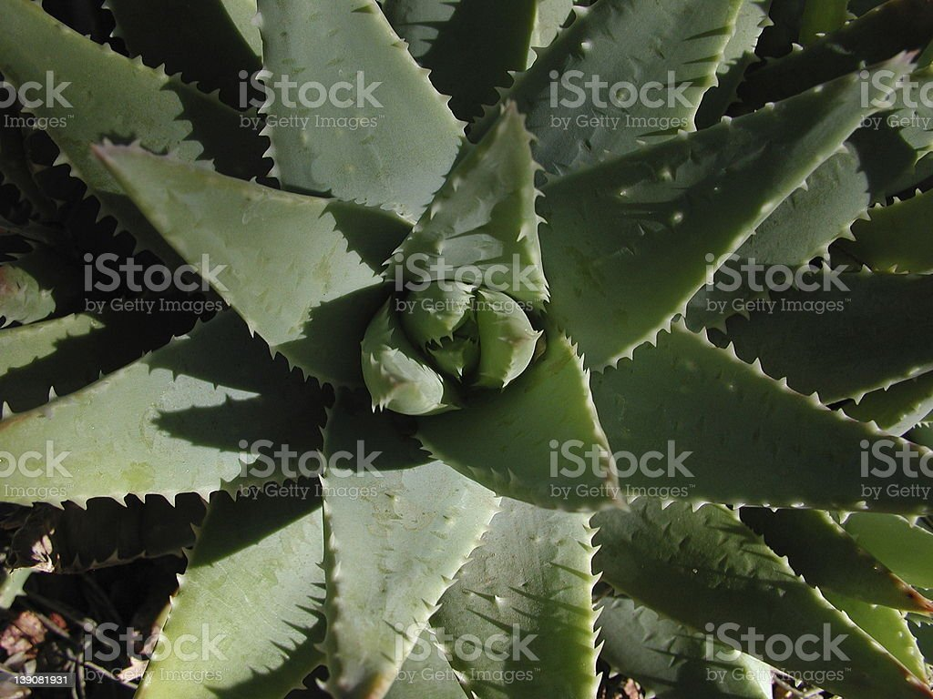 Agave Plant royalty-free stock photo