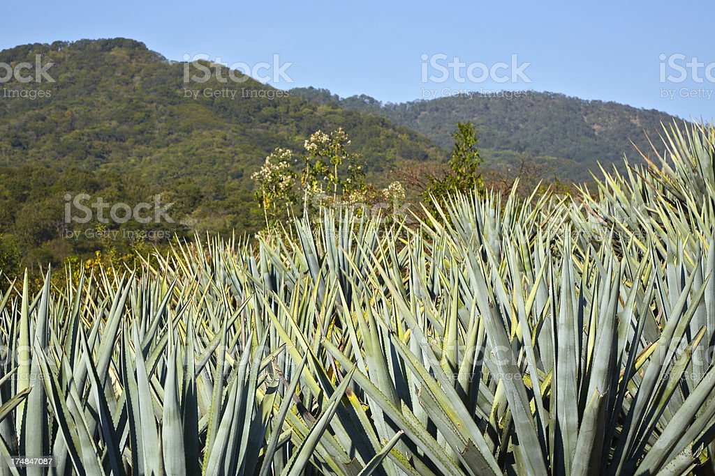 Agave Plants in Field, Mexico stock photo