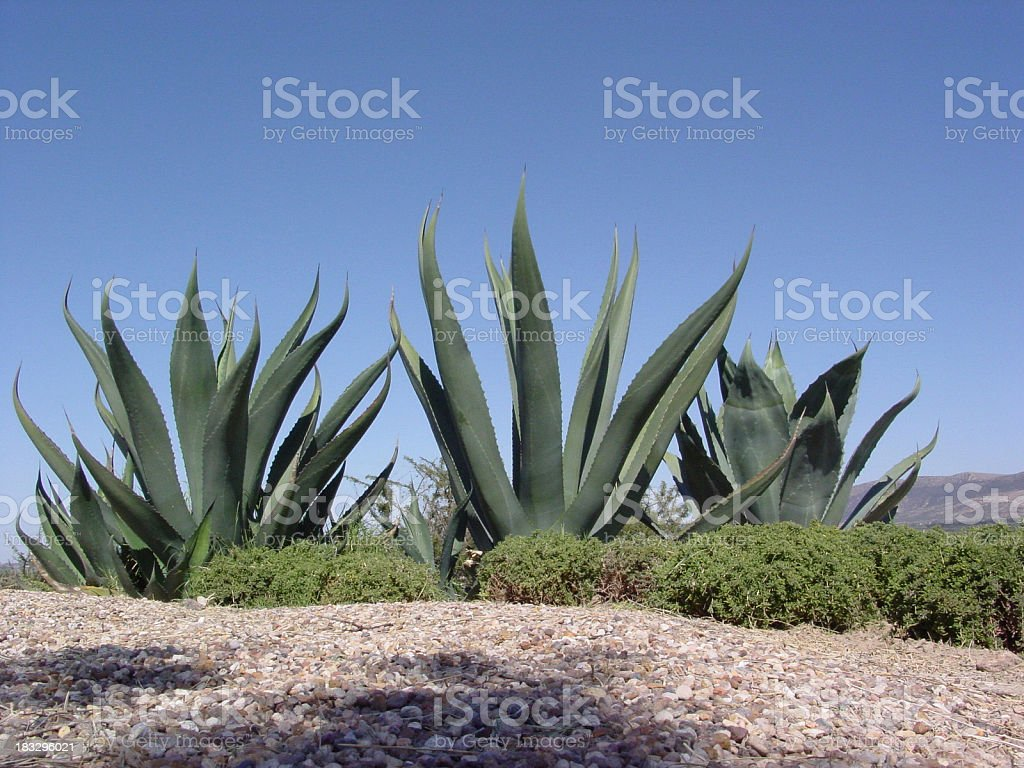 Agave plants stock photo