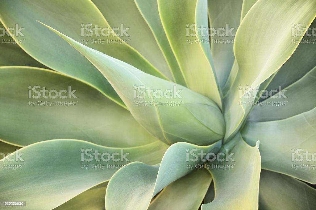 Agave Succulent Plant Leaves stock photo