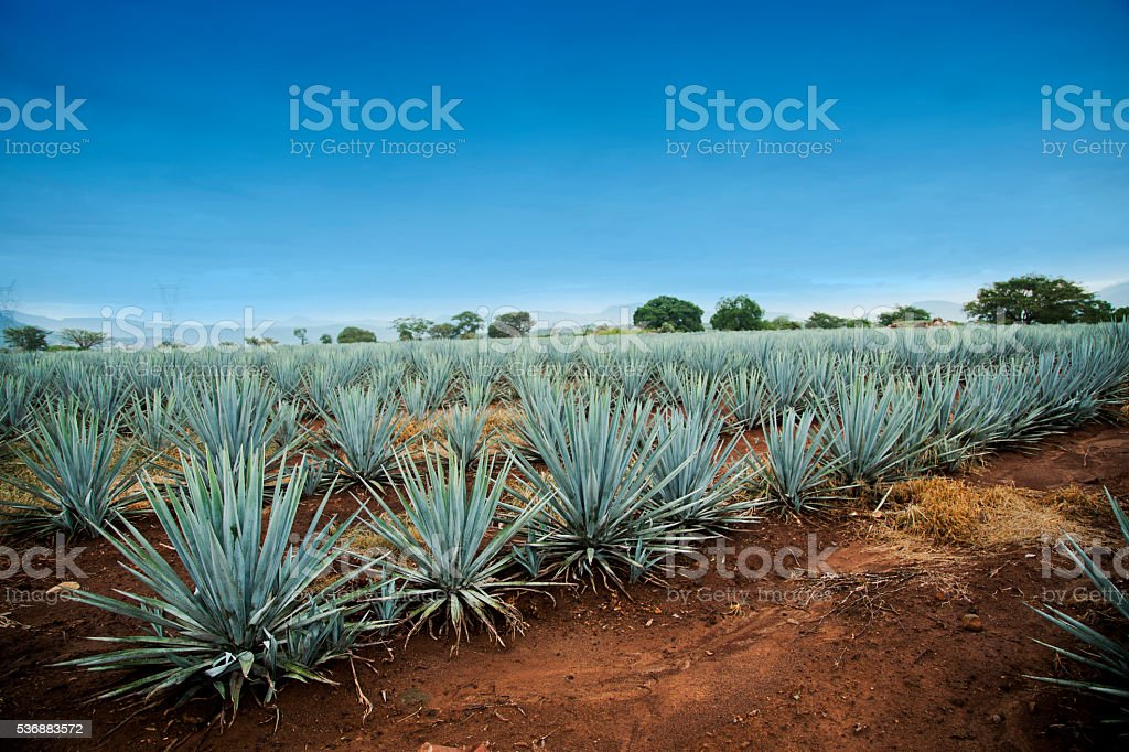 Agave tequila landscape to Guadalajara, Jalisco, Mexico. stock photo