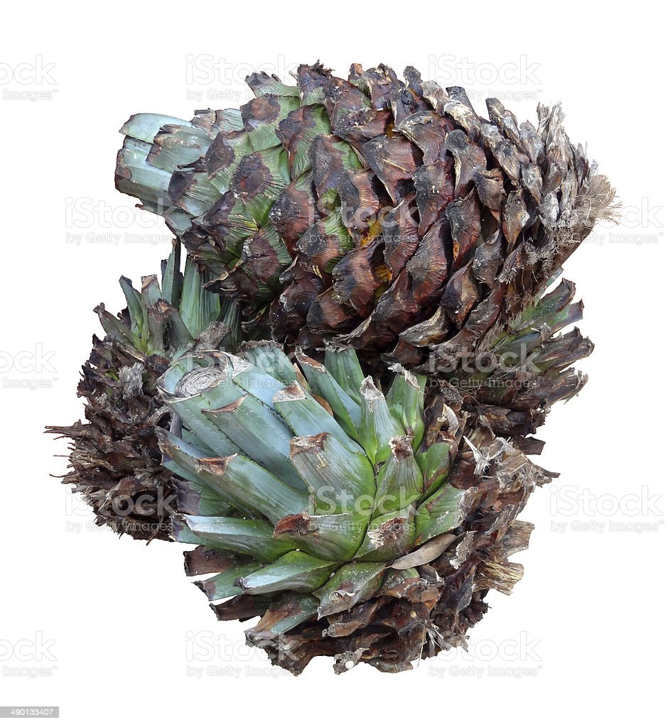 Agave tequilana stock photo