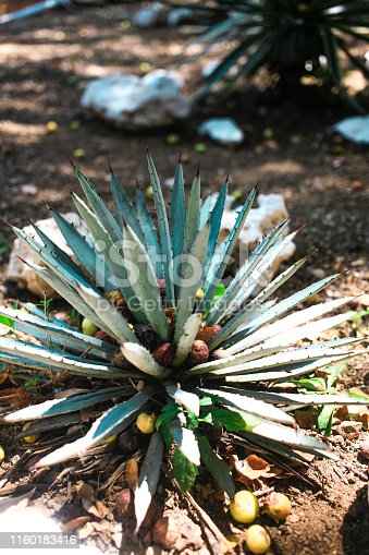 Agave tequilana plant