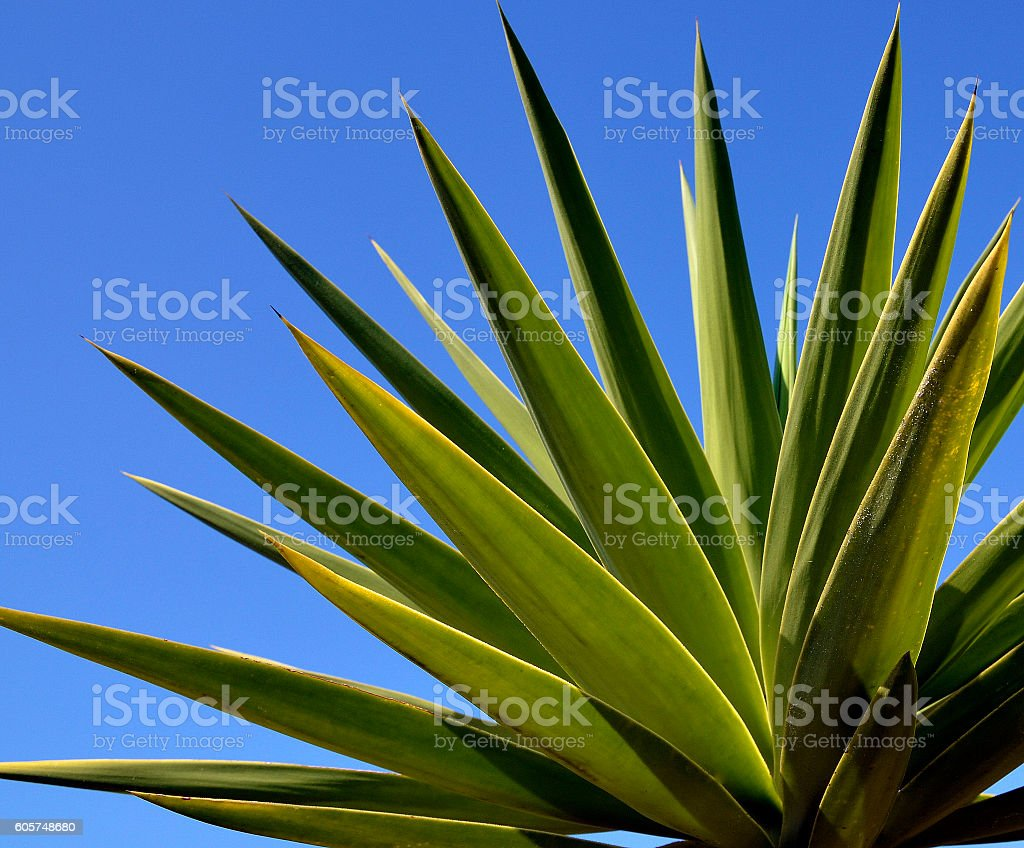 Agave tequilana plant to distill mexican tequila liquor. stock photo