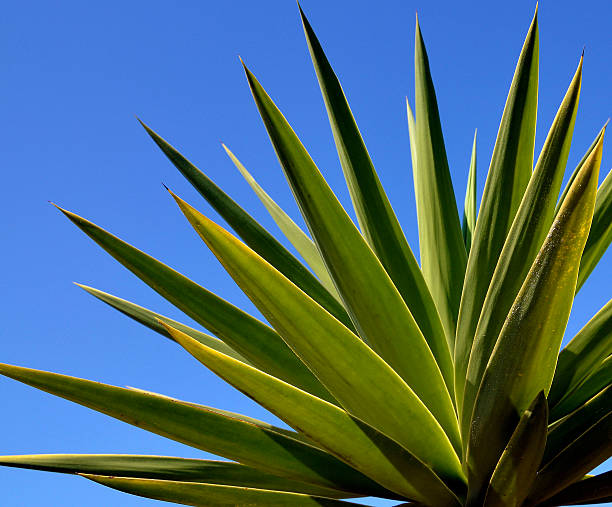 Agave tequilana plant to distill mexican tequila liquor. - foto de stock