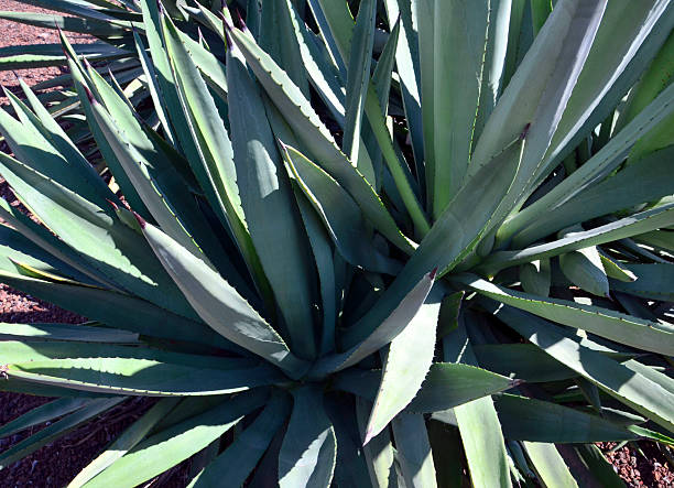 agave tequilana succulent plants growing wild in tenerife. - mezcal fotografías e imágenes de stock