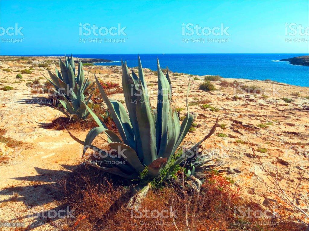 Agave, com folhas largas em ilha muito seca e estéril - Foto de stock de Agave royalty-free