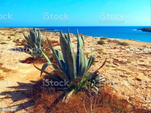 Foto de Agave Com Folhas Largas Em Ilha Muito Seca E Estéril e mais fotos de stock de Agave