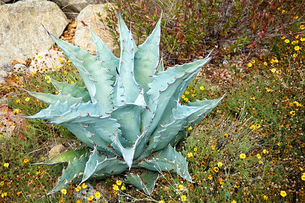 agave yucca cactus encuentra en arizona, méxico - mezcal fotografías e imágenes de stock