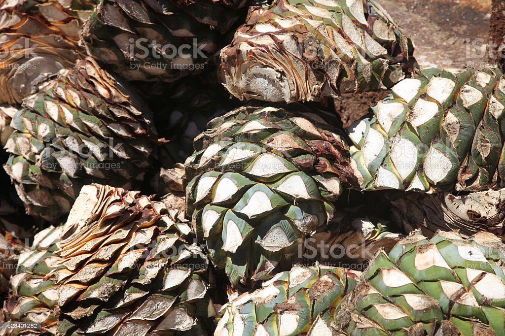 Agaves stock photo