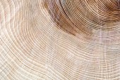 Age of a tree shown by growth rings