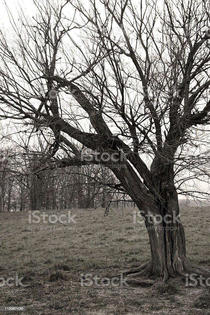 aged gnarled tree royalty-free stock photo